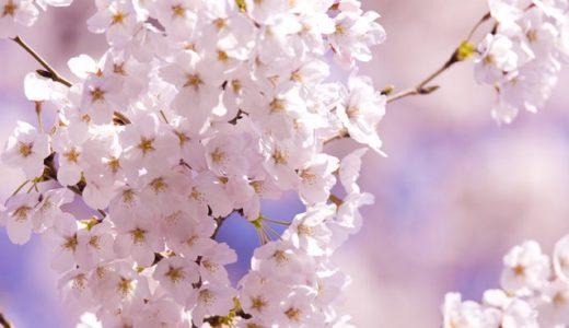 千葉公園の桜2020の満開はいつ?おすすめ見頃時期はいつからいつまで?