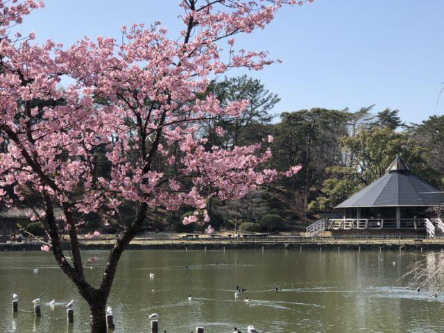 千葉公園ボート池の桜