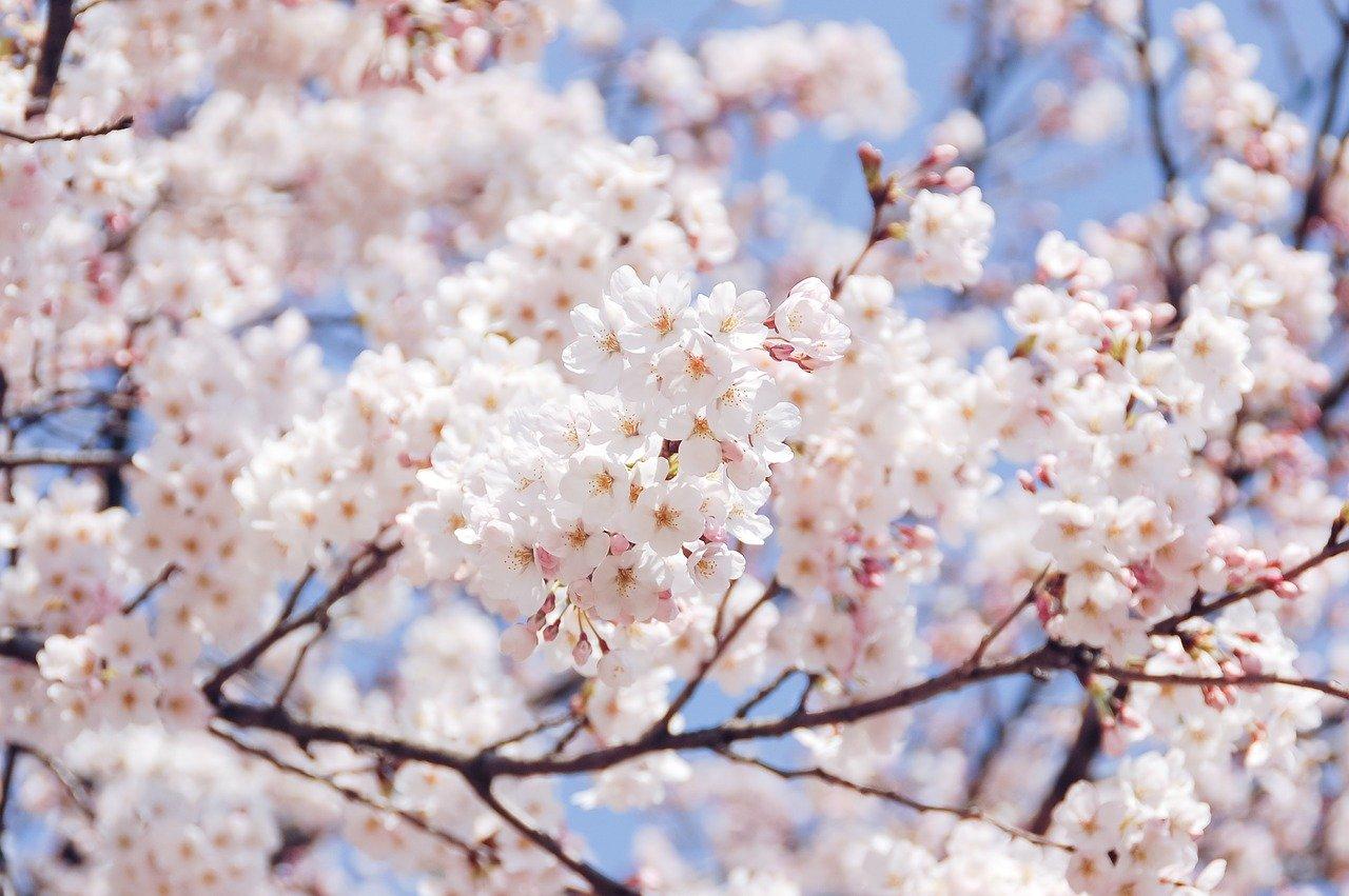 茂原公園桜まつり2020の屋台や駐車場の情報をお届け!夜のライトアップの時間帯は?
